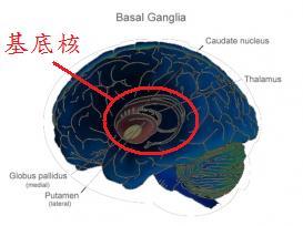 basal-ganglia.jpg