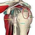cuff_tendons1.jpg
