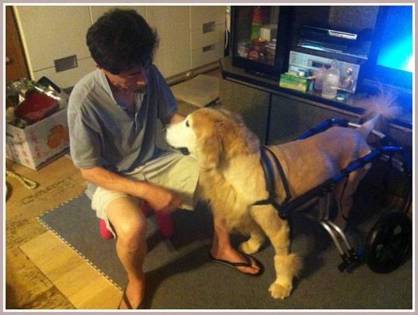 黃金獵犬麥克西坐輪椅 (1)