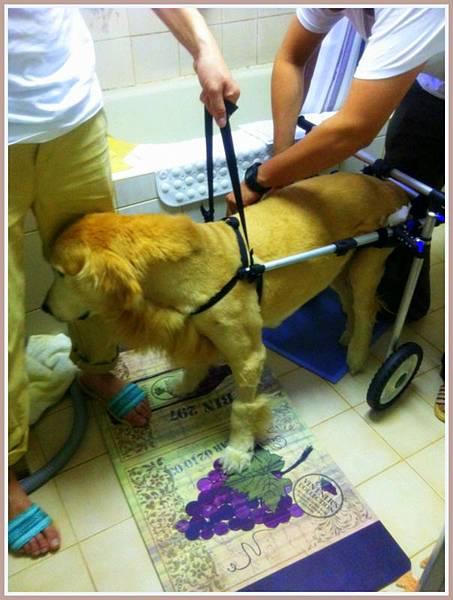 黃金獵犬麥克西坐輪椅 (2)