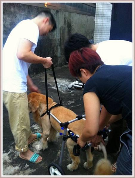 黃金獵犬麥克西坐輪椅 (3)