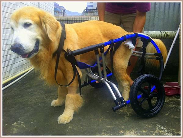 黃金獵犬麥克西坐輪椅 (4)