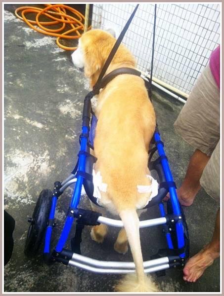 黃金獵犬麥克西坐輪椅 (5)