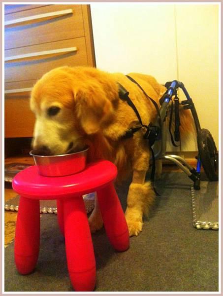 黃金獵犬麥克西坐輪椅 (6)