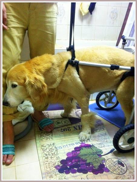 黃金獵犬麥克西坐輪椅