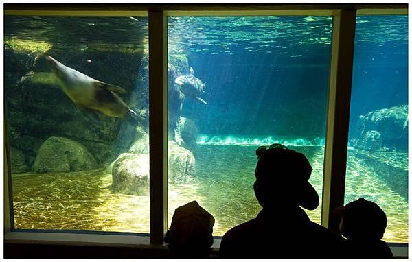 游來游去的海豹