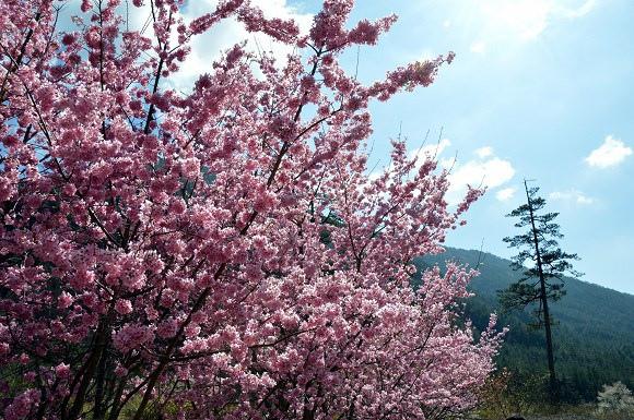 武陵農場 紅粉佳人