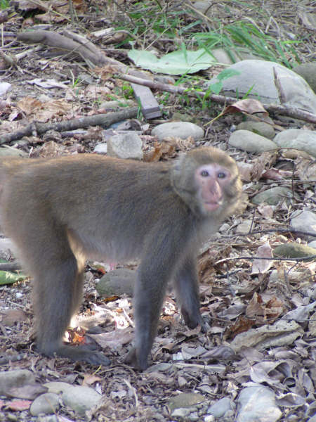 松柏嶺猴子