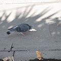 鴿子也在吃冰淇淋