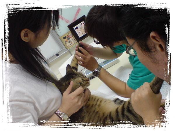 20090529貓醫院遇到巨貓 (3).JPG
