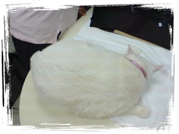 20090531貓醫院看到的巨貓 (2).JPG