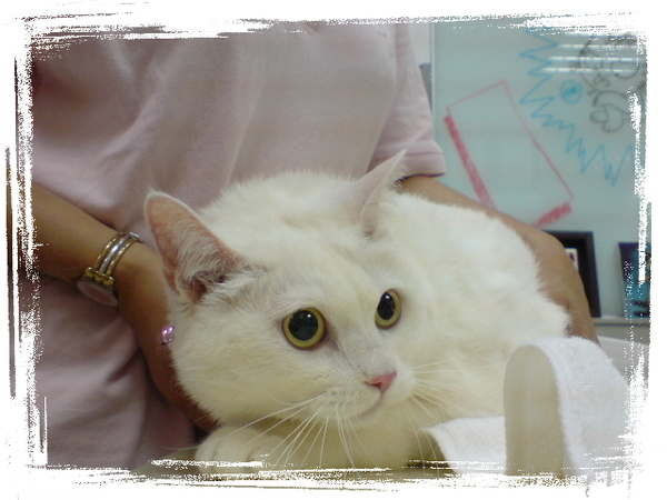 20090531貓醫院看到的巨貓 (5).JPG