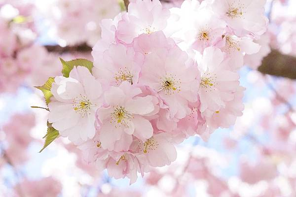 japanese-cherry-trees-724290_960_720.jpg