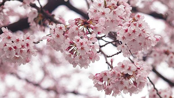 cherry-blossoms-1323934_960_720.jpg
