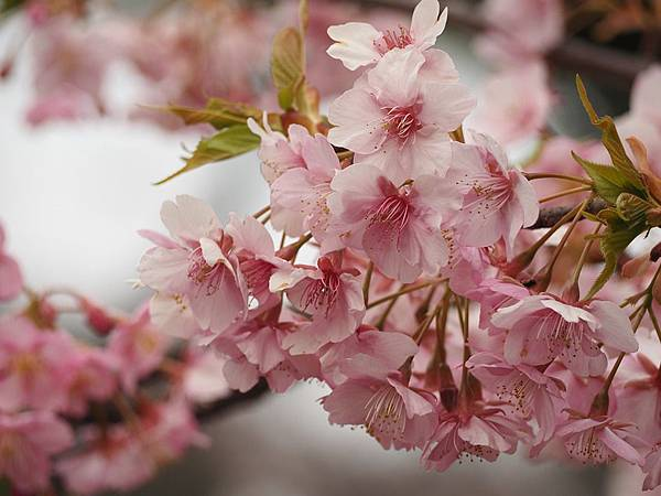 cherry-blossoms-679551_960_720.jpg