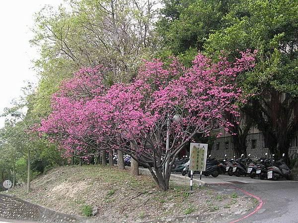 女宿門口的櫻花盛開
