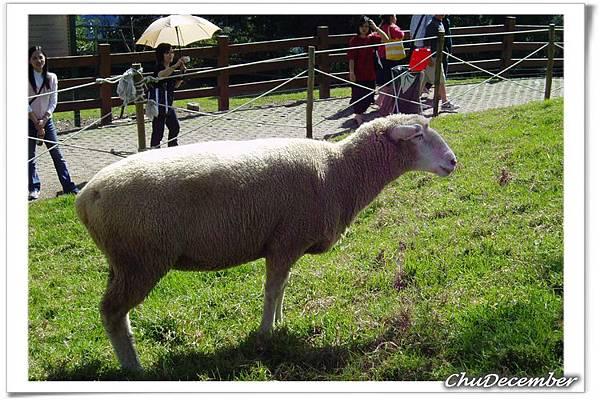 小羊終於出現