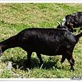 小黑山羊努力吃草