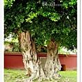 磐根錯結的大樹