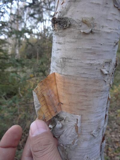 白樺樹薄如紙般的樹皮