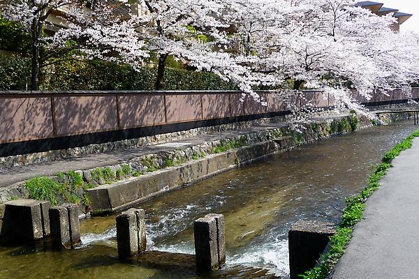 京都溪岸垂櫻.jpg