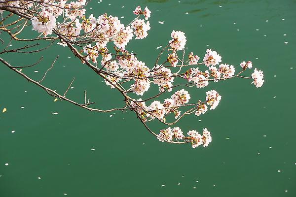 水面上的櫻.jpg