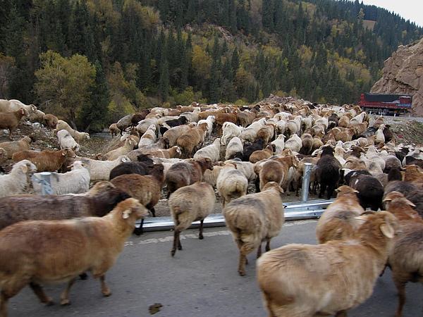 數不清的羊.jpg
