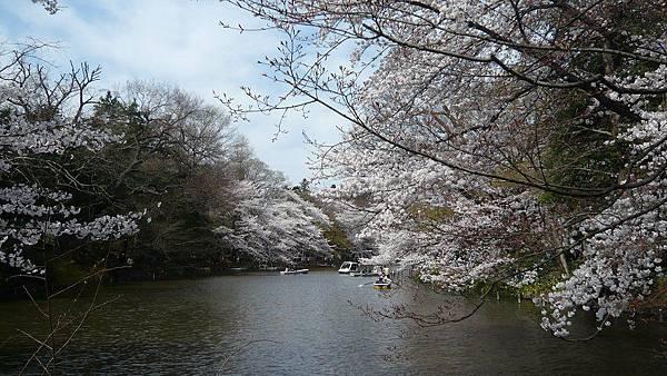 井之頭公園的櫻花還是一樣的美