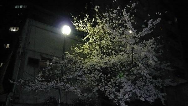 旅館附近的櫻花 @v@
