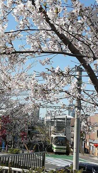 路面電車+櫻花
