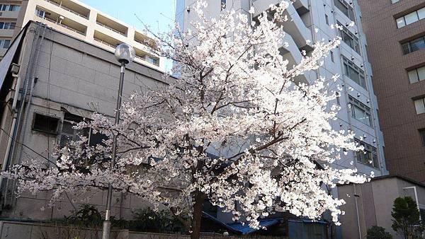 飯店旁邊的櫻花