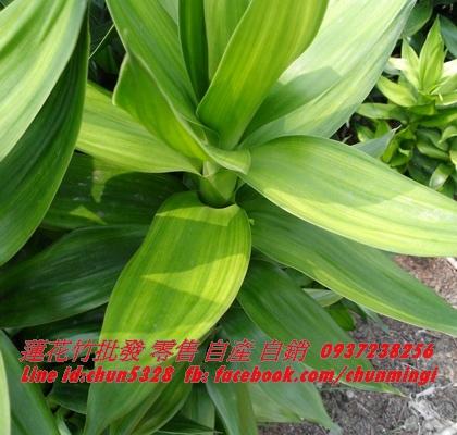蓮花竹705-4