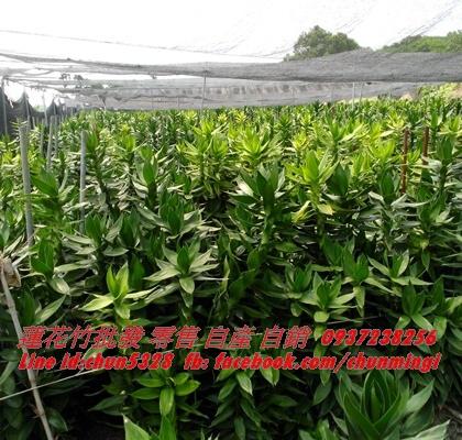 蓮花竹705-5