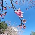 20200206武陵茶莊/櫻花