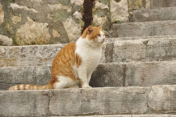 140110克羅埃西亞花貓