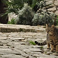 140110克羅埃西亞虎斑貓
