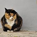 140110克羅埃西亞流氓貓