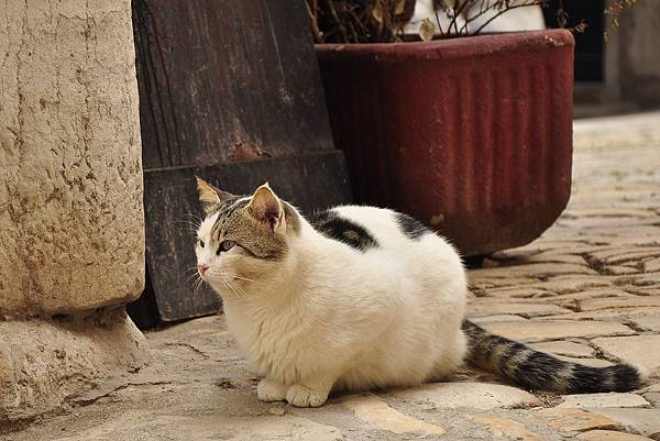 140110克羅埃西亞黑白貓