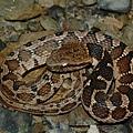 擬龜殼花幼蛇