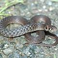 斯文豪氏游蛇(Rhabdophis swinhonis)