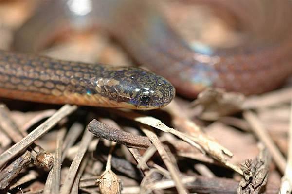 鐵線蛇(Caiamaria pavimentata)