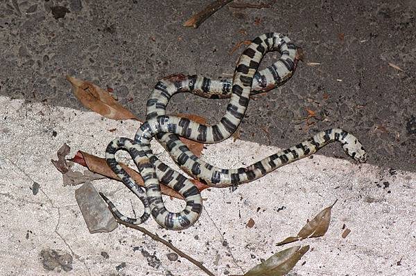 死了約一天的高砂蛇(Elaphe mandarinus)