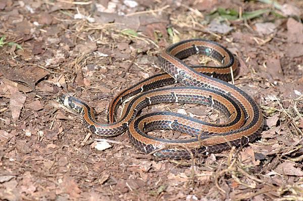 羽鳥氏帶紋赤蛇(Hemibungarus sauteri hatori)