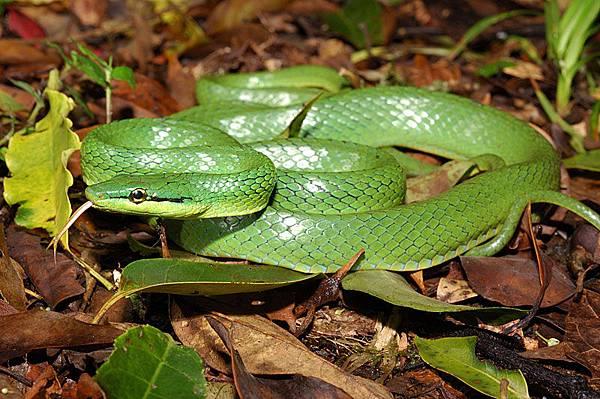 極稀有的灰腹綠錦蛇