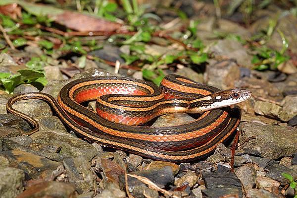 金絲蛇(Amphiesma miyajimae)