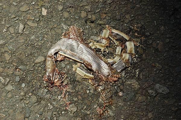 遭輾斃的脆蛇蜥(Ophisaurus harti)