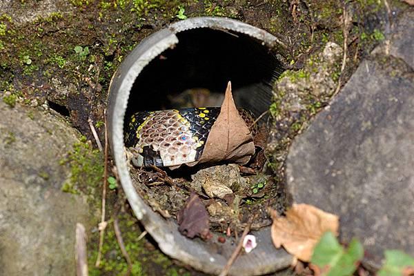 躲在山壁水管裡的高砂蛇(Elaphe mandarinus)