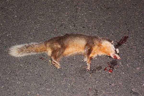 被撞死不到半小時的鼬獾