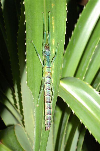 休息中的大頭竹節蟲