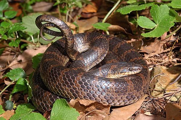 紅斑蛇(Dinodon rufozonatum)